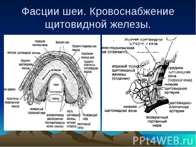 Фасции шеи. Кровоснабжение щитовидной железы.