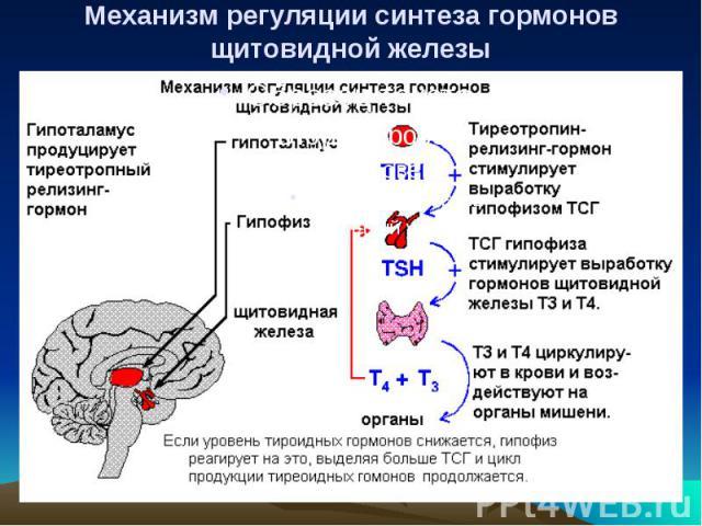 Механизм регуляции синтеза гормонов щитовидной железы