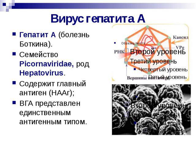 Вирус гепатита А Гепатит А (болезнь Боткина). Семейство Picornaviridae, род Hepatovirus. Содержит главный антиген (НААг); ВГА представлен единственным антигенным типом.