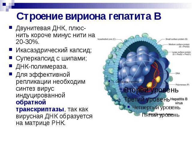 Строение вириона гепатита В Двунитевая ДНК, плюс-нить короче минус нити на 20-30%. Икасаэдрический капсид; Суперкапсид с шипами; ДНК-полимераза. Для эффективной репликации необходим синтез вирус индуцированной обратной транскриптазы, так как вирусна…
