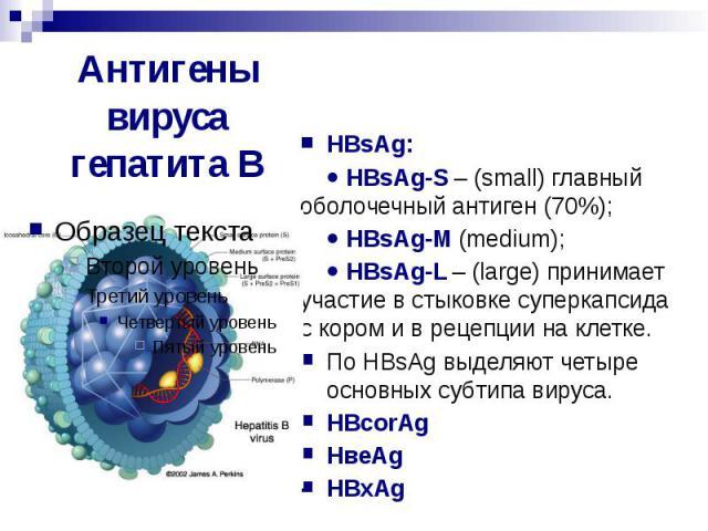 Антигены вируса гепатита В HВsAg: HВsAg-S – (small) главный оболочечный антиген (70%); HВsAg-М (medium); HВsAg-L – (large) принимает участие в стыковке суперкапсида с кором и в рецепции на клетке. По HВsAg выделяют четыре основных субтипа вируса. HВ…