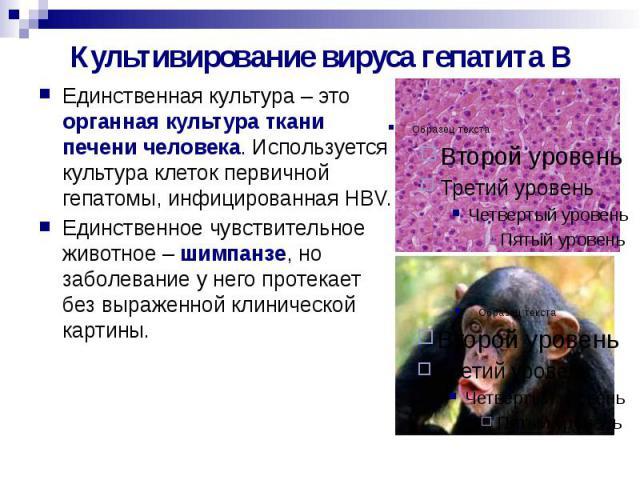 Культивирование вируса гепатита В Единственная культура – это органная культура ткани печени человека. Используется культура клеток первичной гепатомы, инфицированная HBV. Единственное чувствительное животное – шимпанзе, но заболевание у него протек…