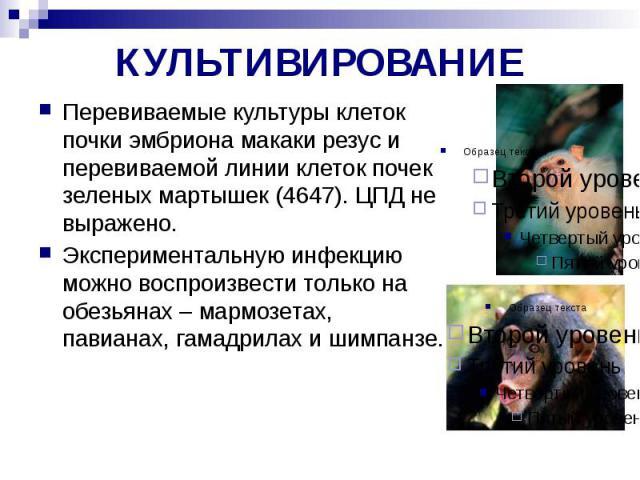 КУЛЬТИВИРОВАНИЕ Перевиваемые культуры клеток почки эмбриона макаки резус и перевиваемой линии клеток почек зеленых мартышек (4647). ЦПД не выражено. Экспериментальную инфекцию можно воспроизвести только на обезьянах – мармозетах, павианах, гамадрила…