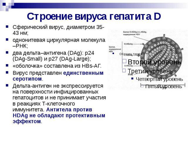 Строение вируса гепатита D Сферический вирус, диаметром 35-43 нм; однонитевая циркулярная молекула –РНК; два дельта–антигена (DAg): p24 (DAg-Small) и p27 (DAg-Large); «оболочка» составлена из HBs-АГ. Вирус представлен единственным серотипом. Дельта-…