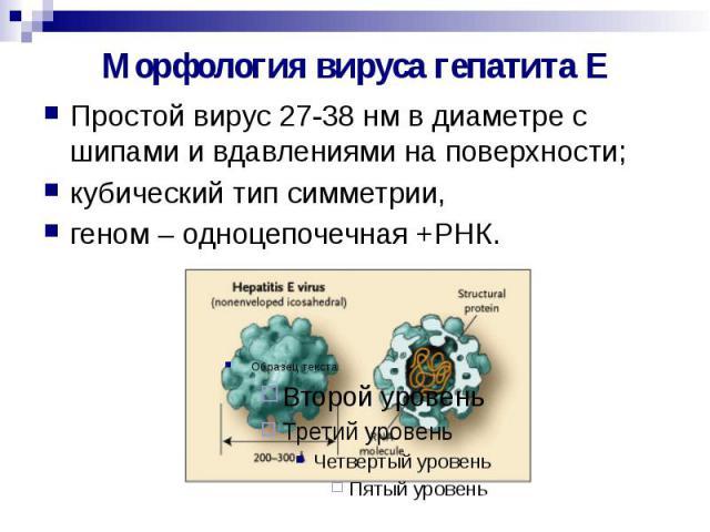 Морфология вируса гепатита Е Простой вирус 27-38 нм в диаметре с шипами и вдавлениями на поверхности; кубический тип симметрии, геном – одноцепочечная +РНК.