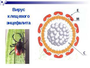 Вирус Вирус клещевого энцефалита