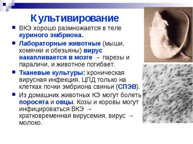Культивирование ВКЭ хорошо размножается в теле куриного эмбриона. Лабораторные животные (мыши, хомячки и обезьяны) вирус накапливается в мозге → парезы и параличи, и животное погибает. Тканевые культуры: хроническая вирусная инфекция, ЦПД только на …