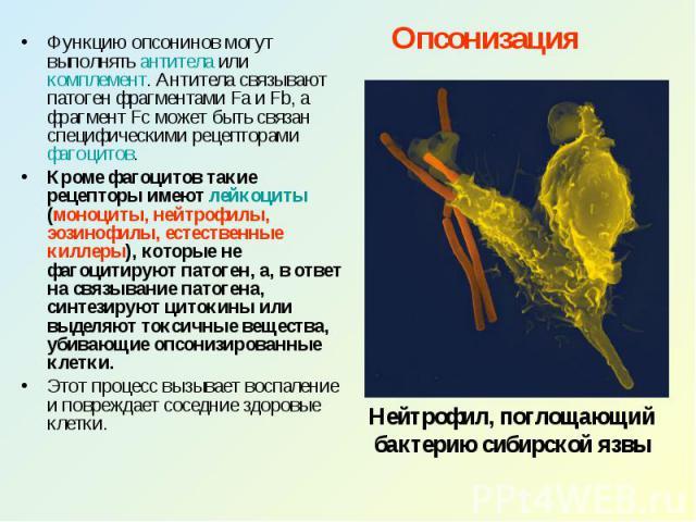 Опсонизация Функцию опсонинов могут выполнять антитела или комплемент. Антитела связывают патоген фрагментами Fa и Fb, а фрагмент Fc может быть связан специфическими рецепторами фагоцитов. Кроме фагоцитов такие рецепторы имеют лейкоциты (моноциты, н…