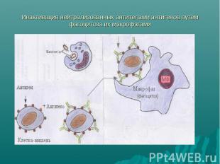 Инактивация нейтрализованных антителами антигенов путем фагоцитоза их макрофагам