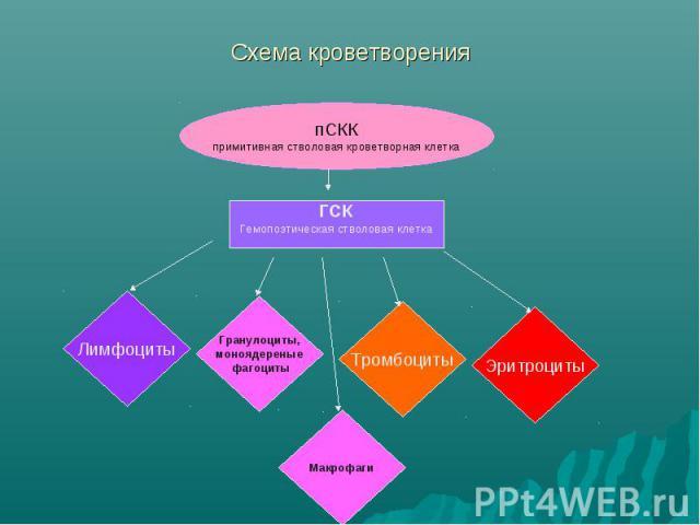 Схема кроветворения ГСК Гемопоэтическая стволовая клетка