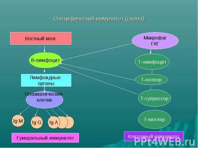 Специфический иммунитет (схема)