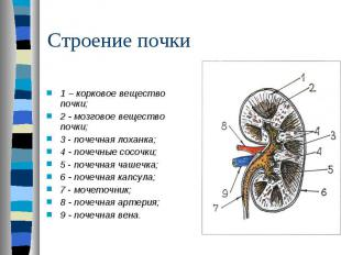 1 – корковое вещество почки; 2 - мозговое вещество почки; 3 - почечная лоханка;