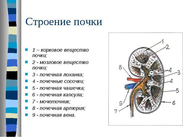 1 – корковое вещество почки; 2 - мозговое вещество почки; 3 - почечная лоханка; 4 - почечные сосочки; 5 - почечная чашечка; 6 - почечная капсула; 7 - мочеточник; 8 - почечная артерия; 9 - почечная вена.