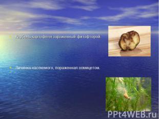 Клубень картофеля зараженный фитофторой. Клубень картофеля зараженный фитофторой