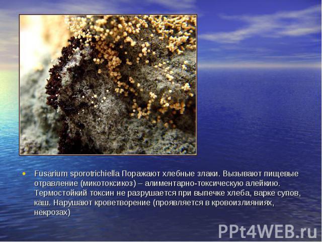 Fusarium sporotrichiella Поражают хлебные злаки. Вызывают пищевые отравление (микотоксикоз) – алиментарно-токсическую алейкию. Термостойкий токсин не разрушается при выпечке хлеба, варке супов, каш. Нарушают кроветворение (проявляется в кровоизлияни…