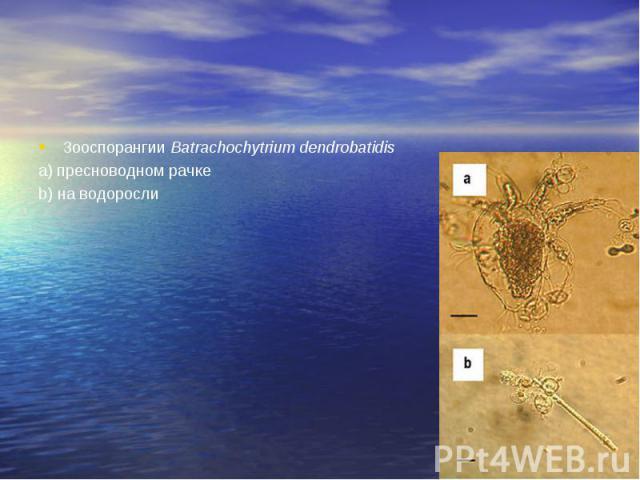 Зооспорангии Batrachochytrium dendrobatidis Зооспорангии Batrachochytrium dendrobatidis а) пресноводном рачке b) на водоросли