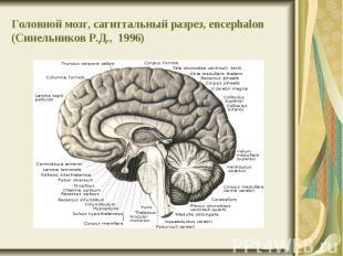 Головной мозг, сагиттальный разрез, encephalon (Синельников Р.Д., 1996)