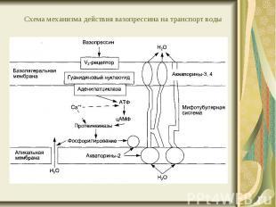 Схема механизма действия вазопрессина на транспорт воды