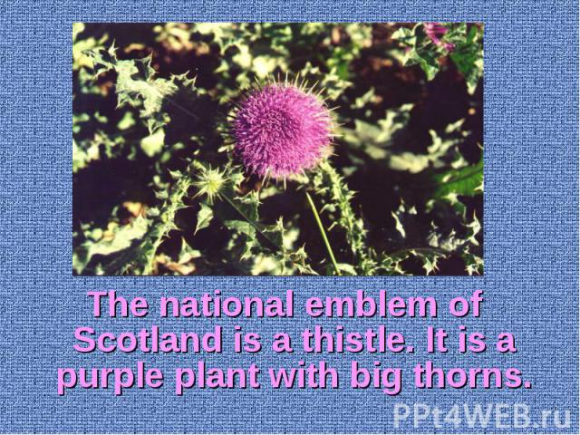 The national emblem of Scotland is a thistle. It is a purple plant with big thorns. The national emblem of Scotland is a thistle. It is a purple plant with big thorns.