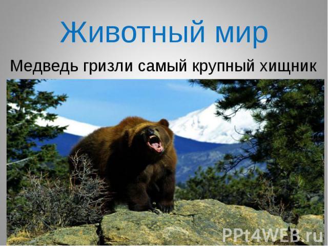 Медведь гризли самый крупный хищник Медведь гризли самый крупный хищник