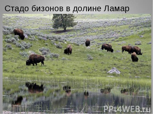 Стадо бизонов в долине Ламар Стадо бизонов в долине Ламар