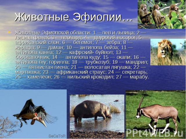Животные Эфиопской области: 1 —лев и львица; 2 — лисица фенек; 3 —леопард; 4 —двурогий носорог; 5 — африканский слон; 6 — бегемот; 7 — зебра; 8 — жирафа; 9 — даман; 10 — антилопа бейза; 11 — антилопа канна; 12 — кафрский- буйвол; 13 — бородавочник; …