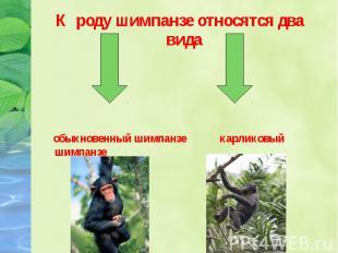 К роду шимпанзе относятся два вида К роду шимпанзе относятся два вида обыкновенн