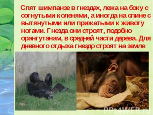 Спят шимпанзе в гнездах, лежа на боку с согнутыми коленями, а иногда на спине с