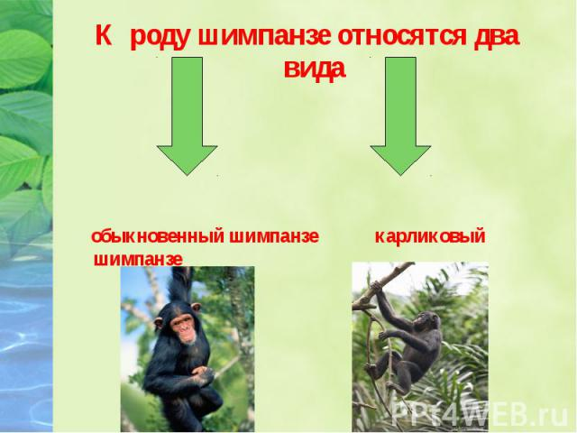 К роду шимпанзе относятся два вида К роду шимпанзе относятся два вида обыкновенный шимпанзе карликовый шимпанзе (бонобо)