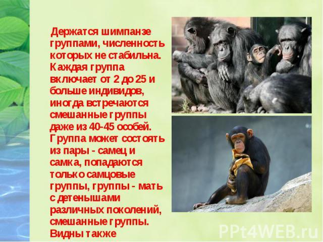 Держатся шимпанзе группами, численность которых не стабильна. Каждая группа включает от 2 до 25 и больше индивидов, иногда встречаются смешанные группы даже из 40-45 особей. Группа может состоять из пары - самец и самка, попадаются только самцовые г…