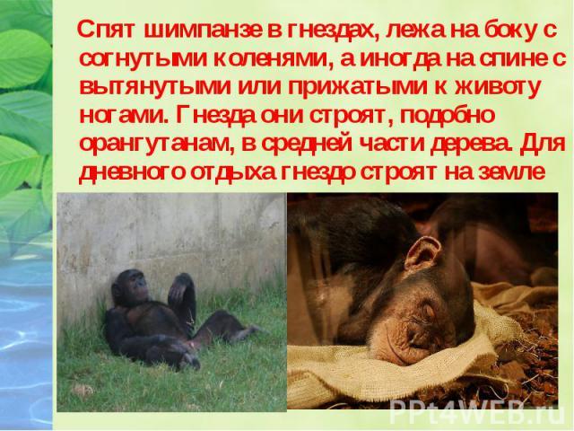 Спят шимпанзе в гнездах, лежа на боку с согнутыми коленями, а иногда на спине с вытянутыми или прижатыми к животу ногами. Гнезда они строят, подобно орангутанам, в средней части дерева. Для дневного отдыха гнездо строят на земле или на деревьях. Спя…