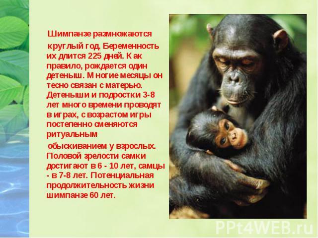 Шимпанзе размножаются круглый год. Беременность их длится 225 дней. Как правило, рождается один детеныш. Многие месяцы он тесно связан с матерью. Детеныши и подростки 3-8 лет много времени проводят в играх, с возрастом игры постепенно сменяются риту…