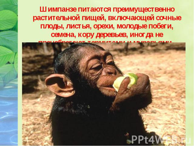 Шимпанзе питаются преимущественно растительной пищей, включающей сочные плоды, листья, орехи, молодые побеги, семена, кору деревьев, иногда не пренебрегают термитами и муравьями. Шимпанзе питаются преимущественно растительной пищей, включающей сочны…