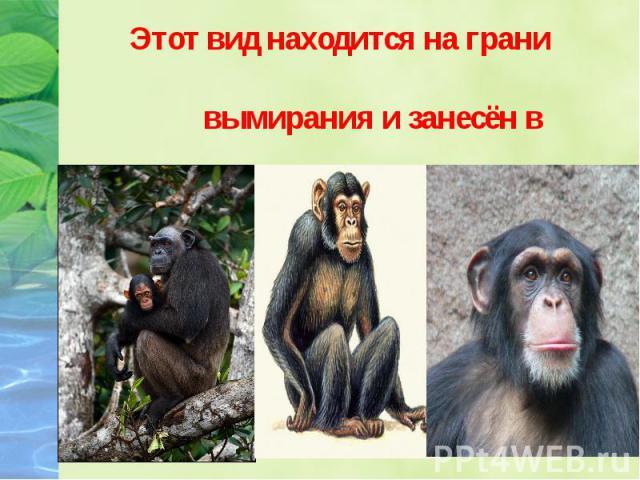 Этот вид находится на грани Этот вид находится на грани вымирания и занесён в Международную Красную книгу.