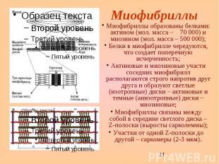 Миофибриллы Миофибриллы образованы белками: актином (мол. масса – 70 000) и миоз