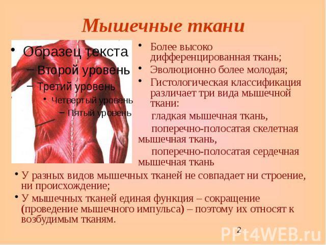 Мышечные ткани Более высоко дифференцированная ткань; Эволюционно более молодая; Гистологическая классификация различает три вида мышечной ткани: гладкая мышечная ткань, поперечно-полосатая скелетная мышечная ткань, поперечно-полосатая сердечная мыш…