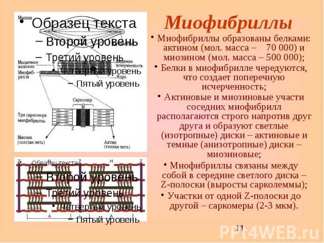 Миофибриллы Миофибриллы образованы белками: актином (мол. масса – 70 000) и миозином (мол. масса – 500 000); Белки в миофибрилле чередуются, что создает поперечную исчерченность; Актиновые и миозиновые участи соседних миофибрилл располагаются строго…