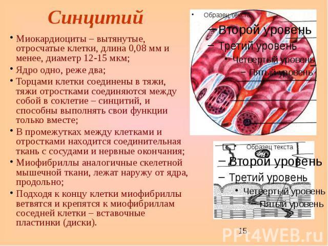 Синцитий Миокардиоциты – вытянутые, отросчатые клетки, длина 0,08 мм и менее, диаметр 12-15 мкм; Ядро одно, реже два; Торцами клетки соединены в тяжи, тяжи отростками соединяются между собой в соклетие – синцитий, и способны выполнять свои функции т…