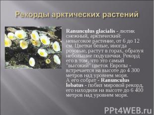Ranunculus glacialis - лютик снежный, арктический: невысокое растение, от 6 до 1