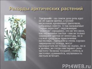 Эдельвейс - на самом деле речь идет не об одном цветке, а группе нескольких крош