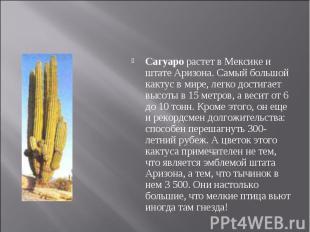 Сагуаро растет в Мексике и штате Аризона. Самый большой кактус в мире, легко дос