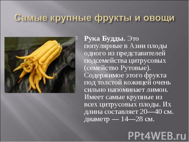 Рука Будды. Это популярные в Азии плоды одного из представителей подсемейства цитрусовых (семейство Рутовые). Содержимое этого фрукта под толстой кожицей очень сильно напоминает лимон. Имеет самые крупные из всех цитрусовых плоды. Их длина составляе…