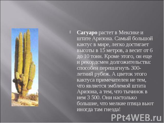 Сагуаро растет в Мексике и штате Аризона. Самый большой кактус в мире, легко достигает высоты в 15 метров, а весит от 6 до 10 тонн. Кроме этого, он еще и рекордсмен долгожительства: способен перешагнуть 300-летний рубеж. А цветок этого кактуса приме…