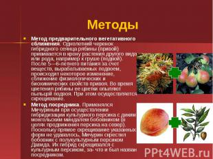 Методы Метод предварительного вегетативного сближения. Однолетний черенок гибрид