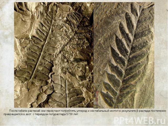 После гибели растений они перестают потреблять углерод и нестабильный изотоп в результате β-распада постепенно превращается в азот с периодом полураспада 5730 лет. После гибели растений они перестают потреблять углерод и нестабильный изотоп в …