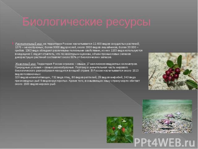 Биологические ресурсы Растительный мир: на территории России насчитывается 11 400 видов сосудистых растений; 1370 – мохообразных; более 9000 водорослей, около 3000 видов лишайников, более 30 000 – грибов. 1363 вида обладают различными полезными свой…