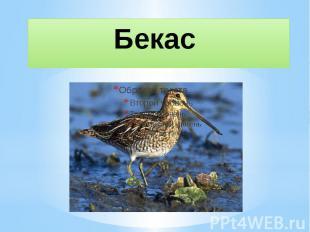 Бекас