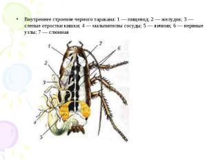 Внутреннее строение черного таракана: 1 — пищевод; 2 — желудок; 3 — слепые отрос