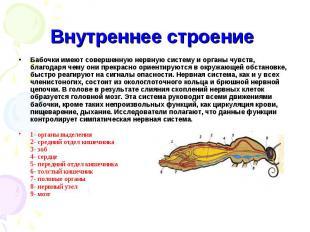 Внутреннее строение Бабочки имеют совершеннуюнервную систему и органы чувств, б