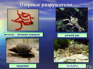 Озерные разрушителимотыль – личинки комаровречной ракпрудовикбеззубка